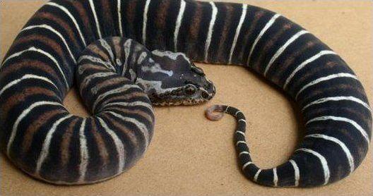 Хвост змеи
