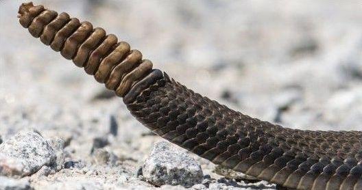 Змеиный хвост