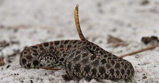 Змея с поднятым хвостом